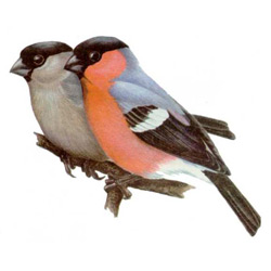 Снегирь — птица, картинка цветная