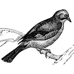 Сойка — птица, картинка чёрно-белая