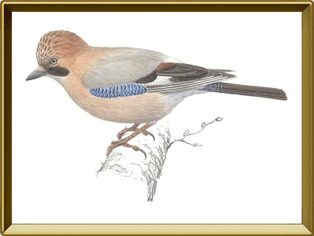 Сойка — птица, фото в рамке №1