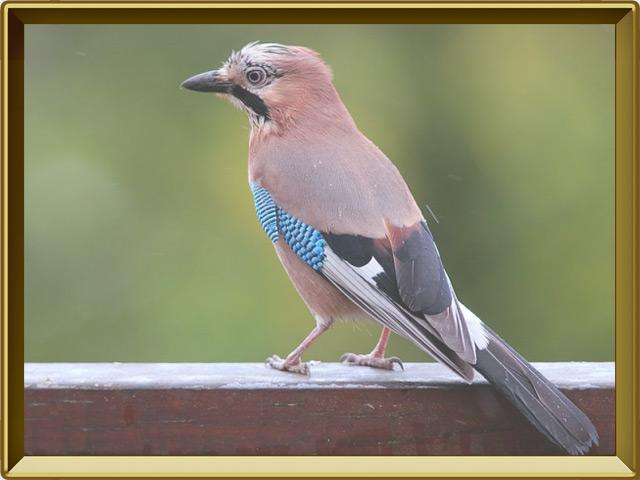 Сойка птица фото фото 711-691