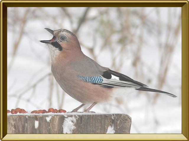 Сойка — птица, фото в рамке №3