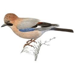 Сойка — птица, картинка цветная