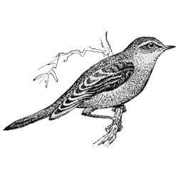 Соловей — птица, картинка чёрно-белая