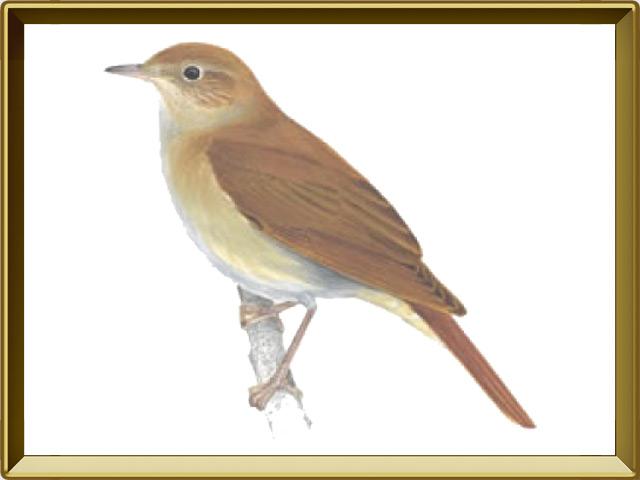 Соловей — птица, фото в рамке №1