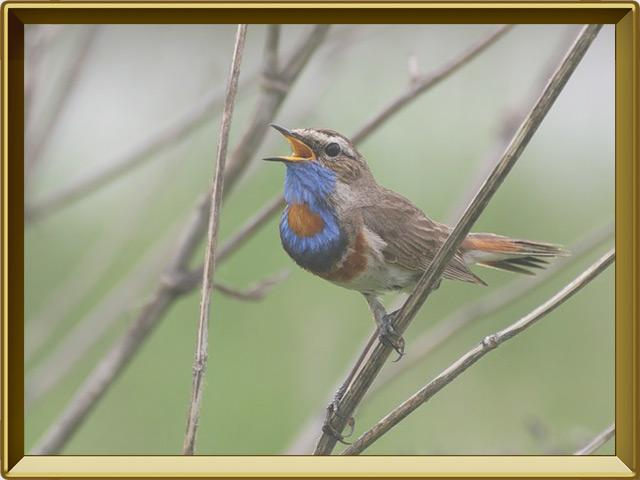 Соловей — птица, фото в рамке №3