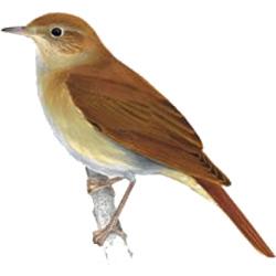 Соловей — птица, картинка цветная