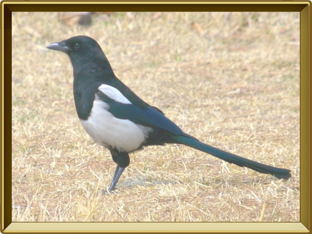 Сорока — птица, фото в рамке №2