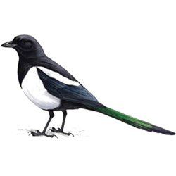 Сорока — птица, картинка цветная
