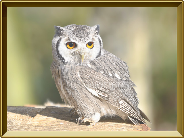 Сова — птица, фото в рамке №2