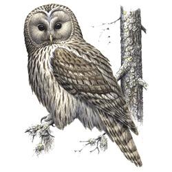 Сова — птица, картинка цветная