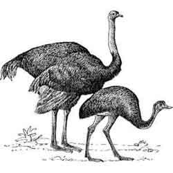 Страус — птица, картинка чёрно-белая
