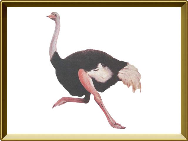 Страус — птица, фото в рамке №1