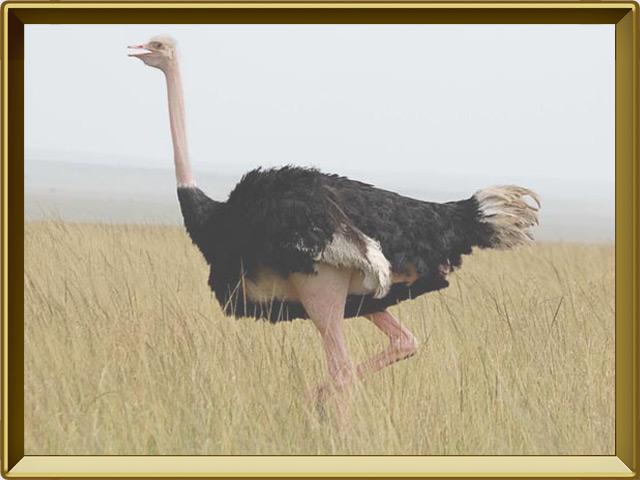 Страус — птица, фото в рамке №2