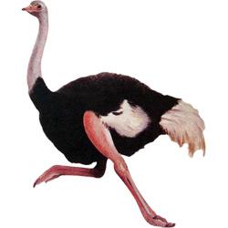 Страус — птица, картинка цветная
