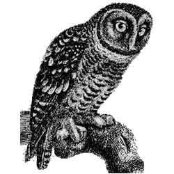Сыч — птица, картинка чёрно-белая