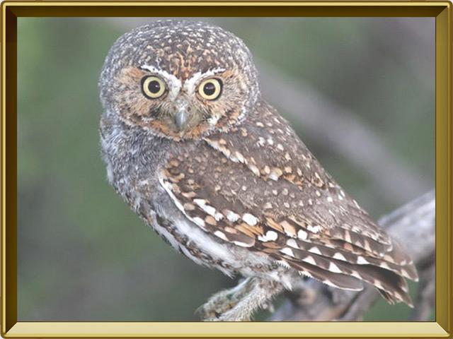 Сыч — птица, фото в рамке №2