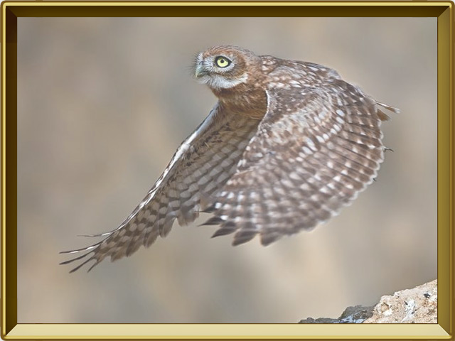 Сыч — птица, фото в рамке №3
