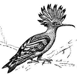 Удод — птица, картинка чёрно-белая