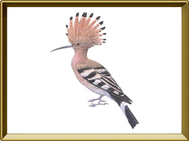Удод — птица, фото в рамке №1