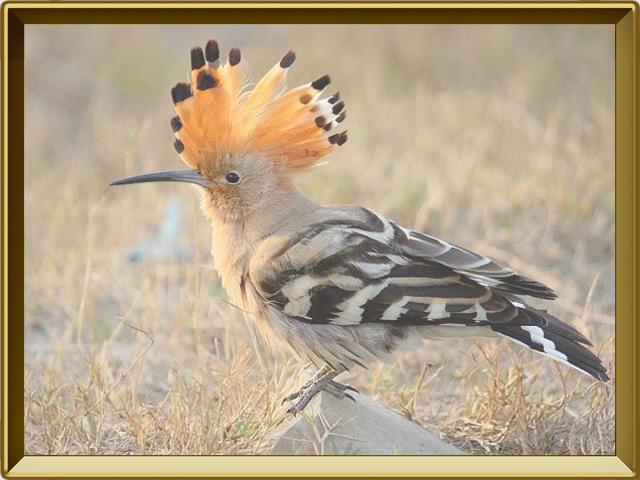 Удод — птица, фото в рамке №2