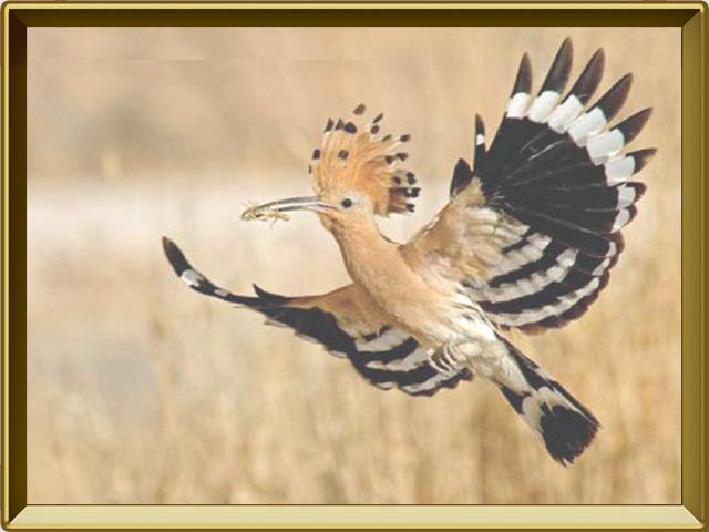 Удод — птица, фото в рамке №3