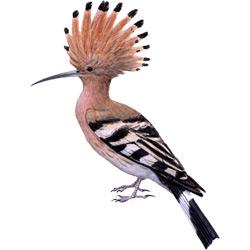 Удод — птица, картинка цветная