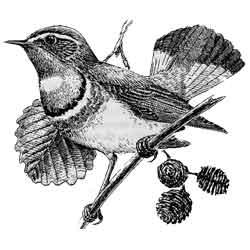 Варакушка — птица, картинка чёрно-белая