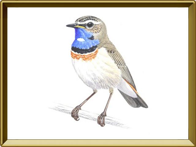 Варакушка — птица, фото в рамке №1