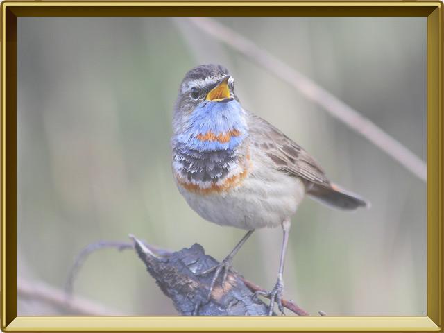 Варакушка — птица, фото в рамке №2