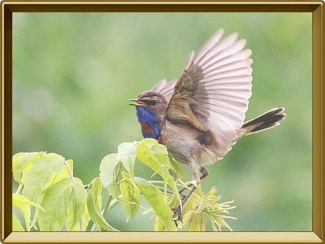 Варакушка — птица, фото в рамке №3