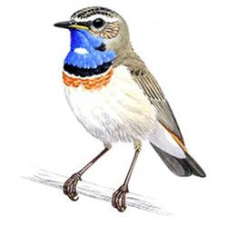 Варакушка — птица, картинка цветная