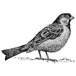 Воробей — птица, картинка чёрно-белая