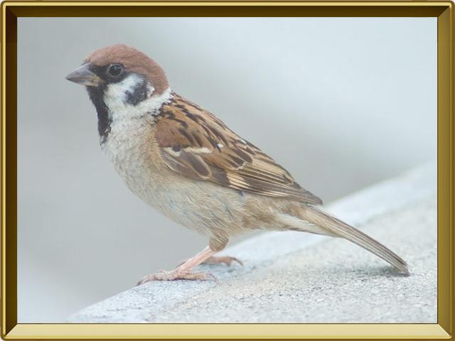 Воробей — птица, фото в рамке №2