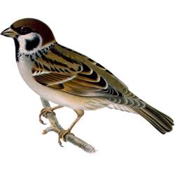 Воробей — птица, картинка цветная