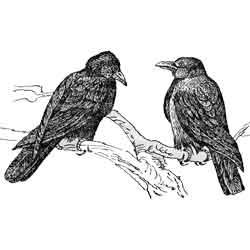 Ворона — птица, картинка чёрно-белая