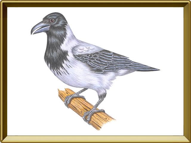 Ворона — птица, фото в рамке №1