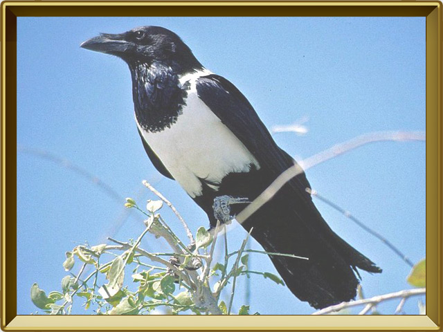 Ворона — птица, фото в рамке №2