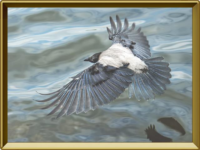 Ворона — птица, фото в рамке №3