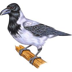 Ворона — птица, картинка цветная