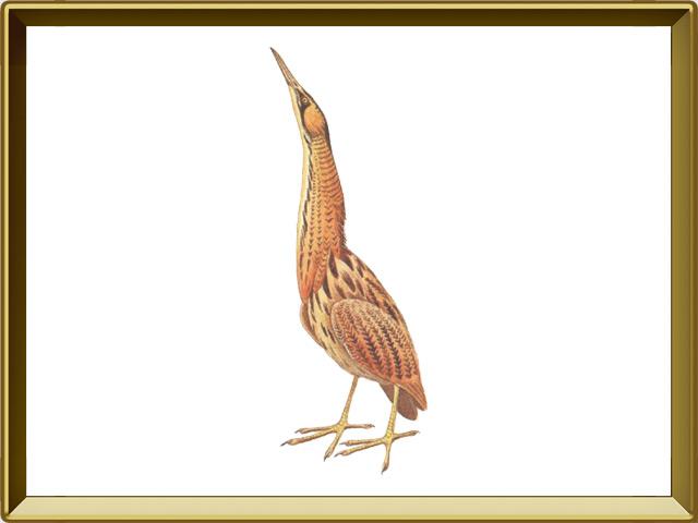 Выпь — птица, фото в рамке №1