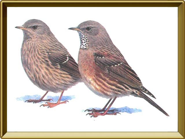 Завирушка — птица, фото в рамке №1