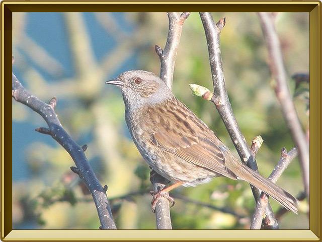 Завирушка — птица, фото в рамке №2