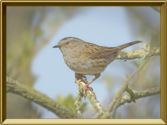 Завирушка — птица, фото в рамке №3