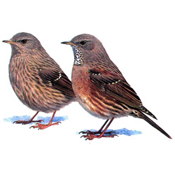 Завирушка — птица, картинка цветная