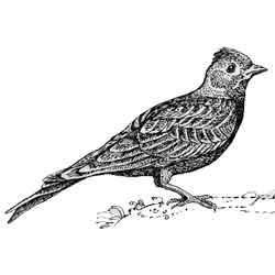 Жаворонок — птица, картинка чёрно-белая