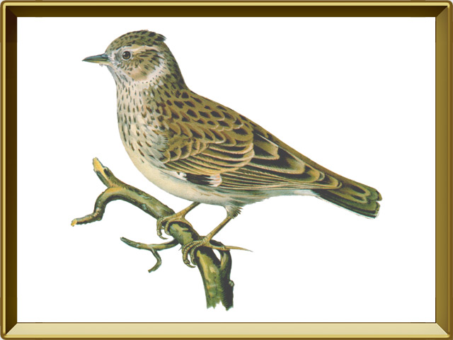 Жаворонок — птица, фото в рамке №1