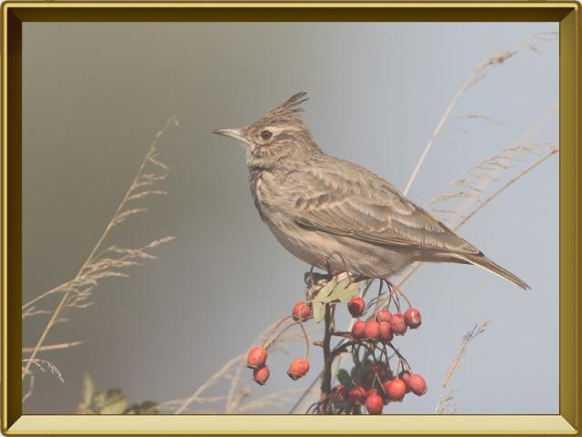 Жаворонок — птица, фото в рамке №2