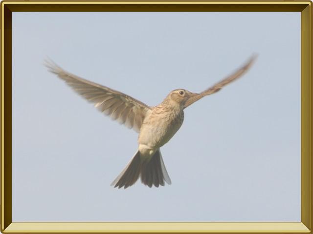Жаворонок — птица, фото в рамке №3