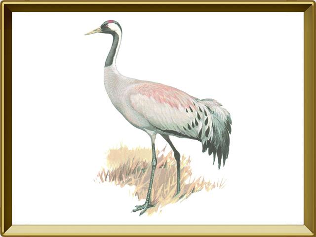 Журавль — птица, фото в рамке №1