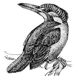 Зимородок — птица, картинка чёрно-белая